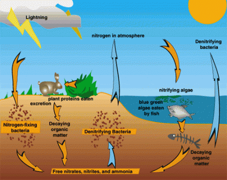 The carbon oxygen nitrogen and water cycles the arctic the nitrogen cycle ccuart Choice Image